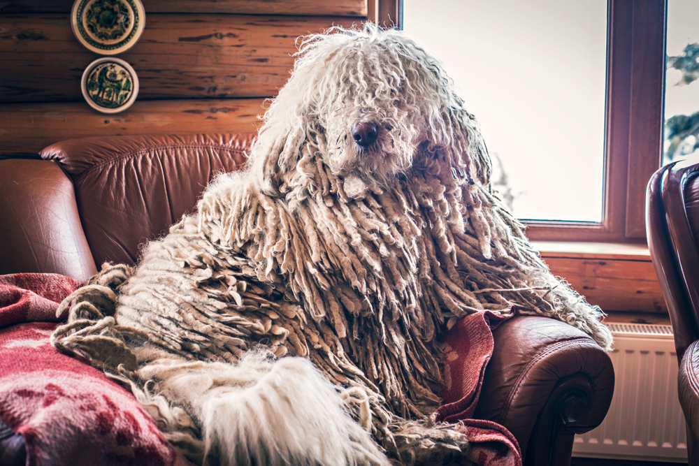 Hungarian Komondor dog in an armchair in front of window at home. Hungarian Komondor portrait.