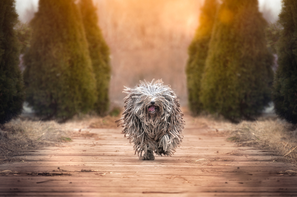 happy run purebred puli dog outdoors. Hungarian Sheepdog.