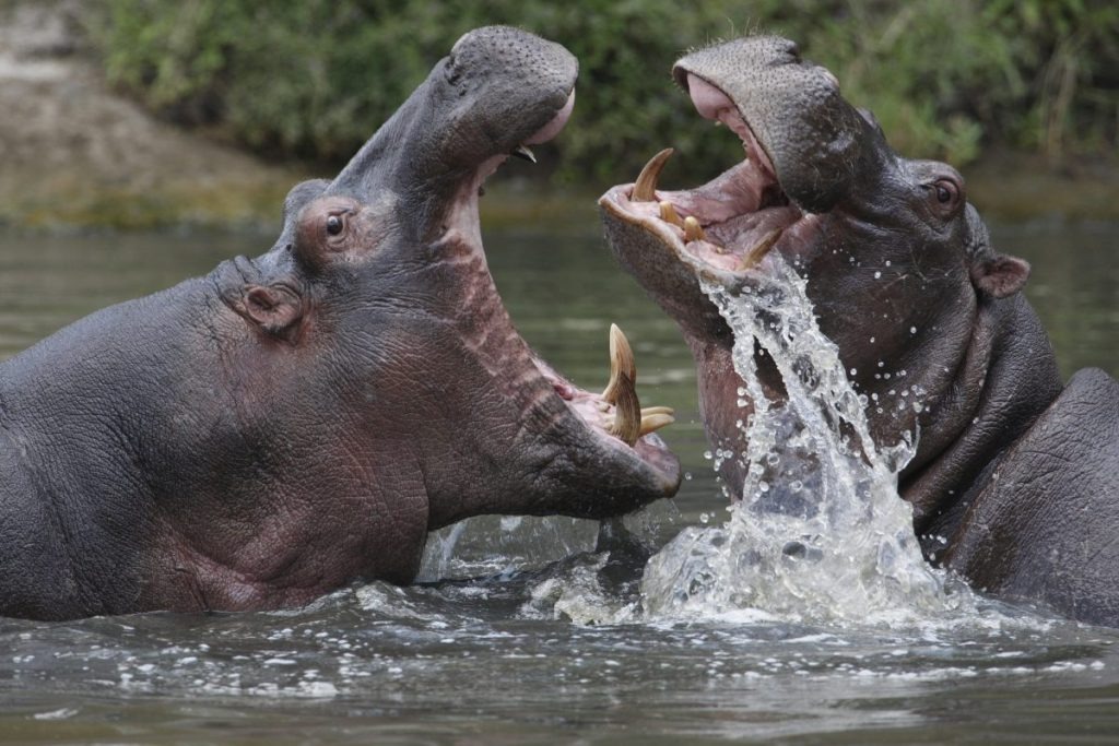 Two hippos fighting in river