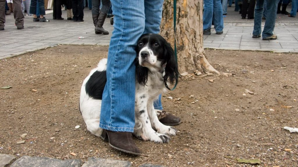 Spaniel hides between person's legs