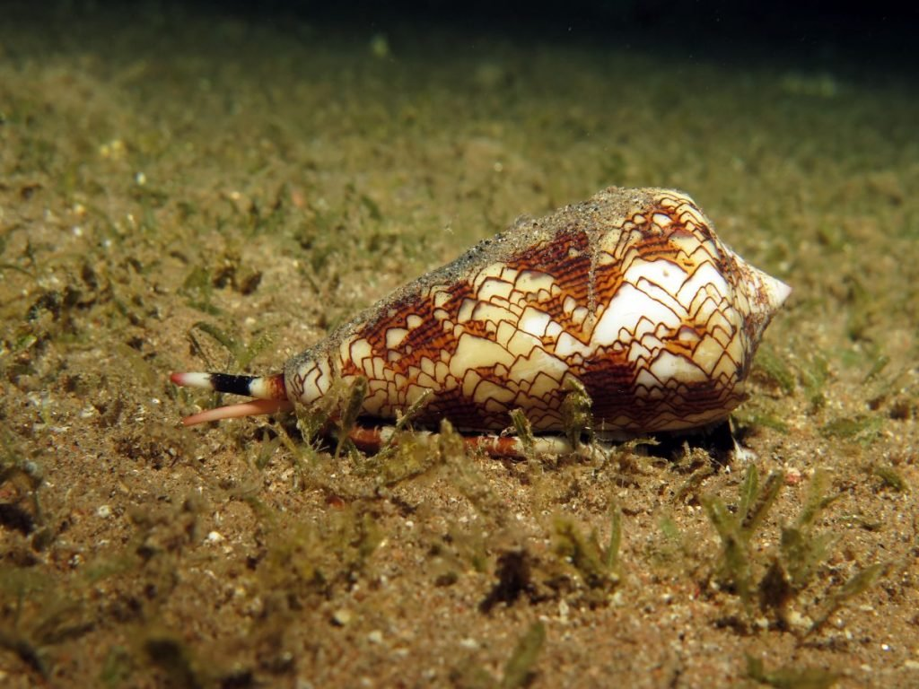 Cone snail on ocean floor