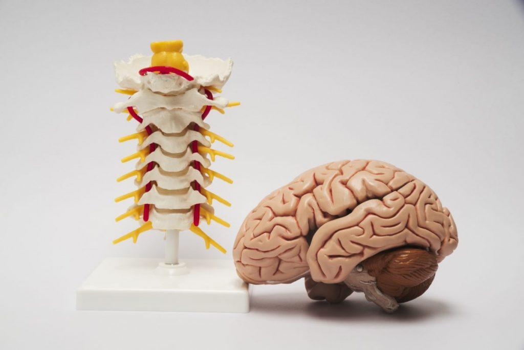brain spinal cord cranium vertebrae