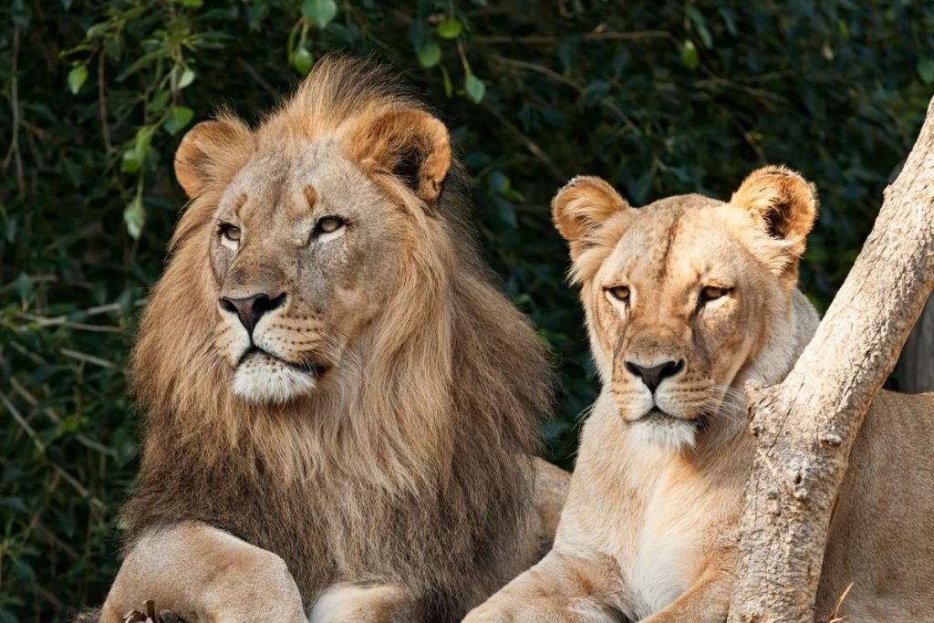 Male and female lion pair