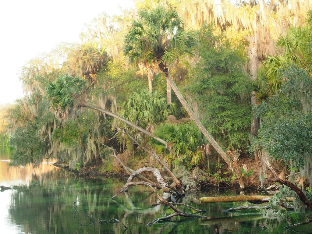 Sable Palms Hang Over the Blue Springs as the Sun Rises