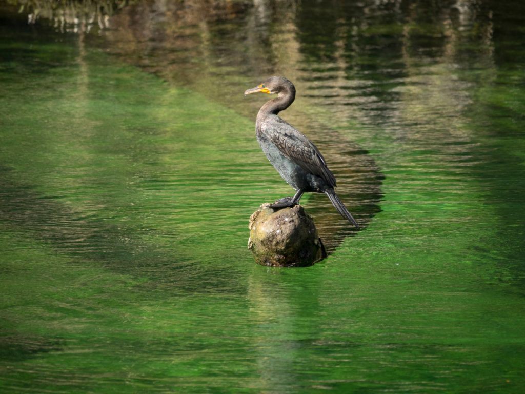 Cormorant on wood in water