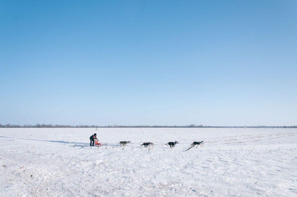 Dog sledding in field