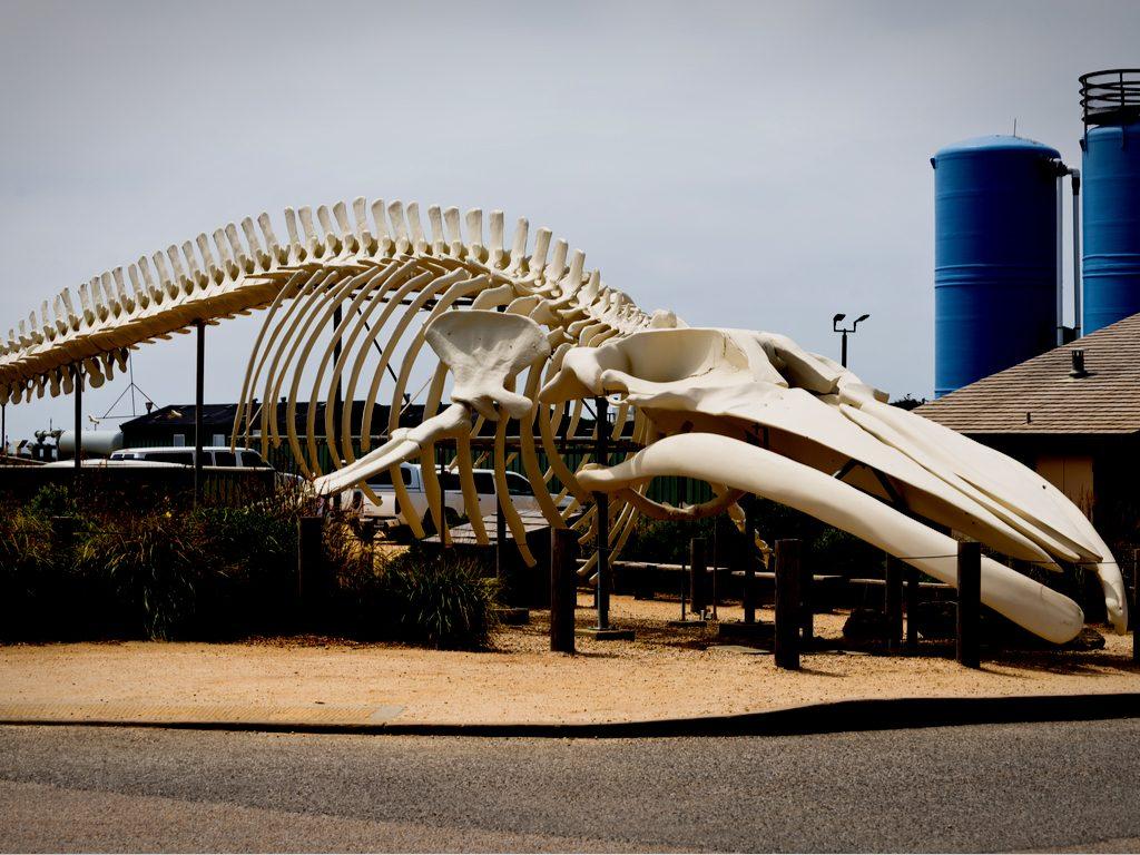 Whale skeleton near Seymour Marine Discovery Center in California