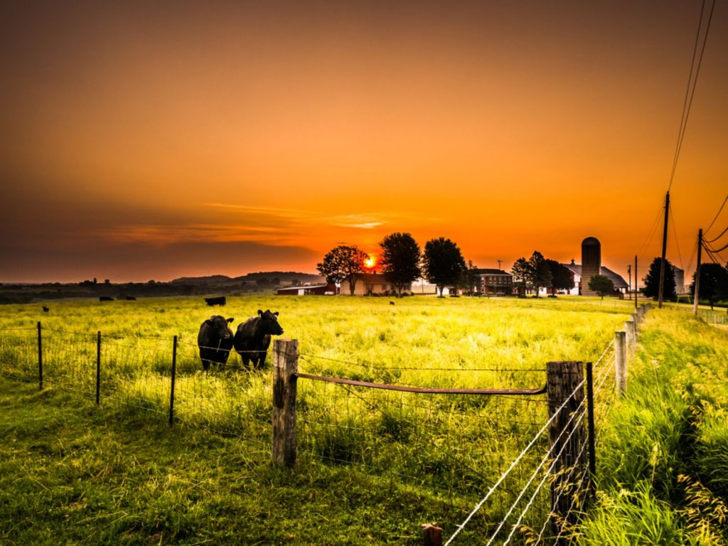 A male bull and female beef cow stand side by side in a fenced in cattle pasture with green grass as the sun rises with beautiful orange colored skies and farm beyond in Galena Illinois