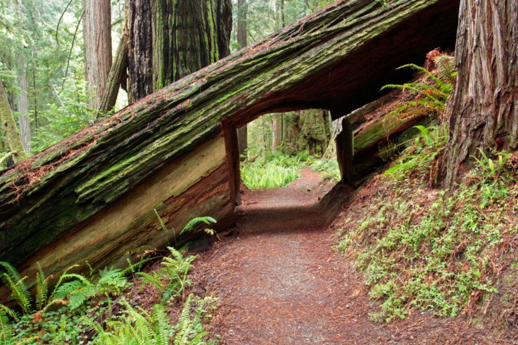 Coastal redwood hiking tunnel, Prairie Creek Trail, Prairie Creek Redwoods State Park, California,