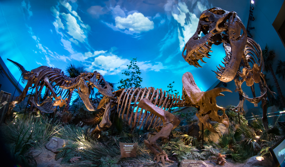 Children's Museum Dinosphere T-Rex and Triceratops dinosaur fossil skeleton bones fighting in epic battle