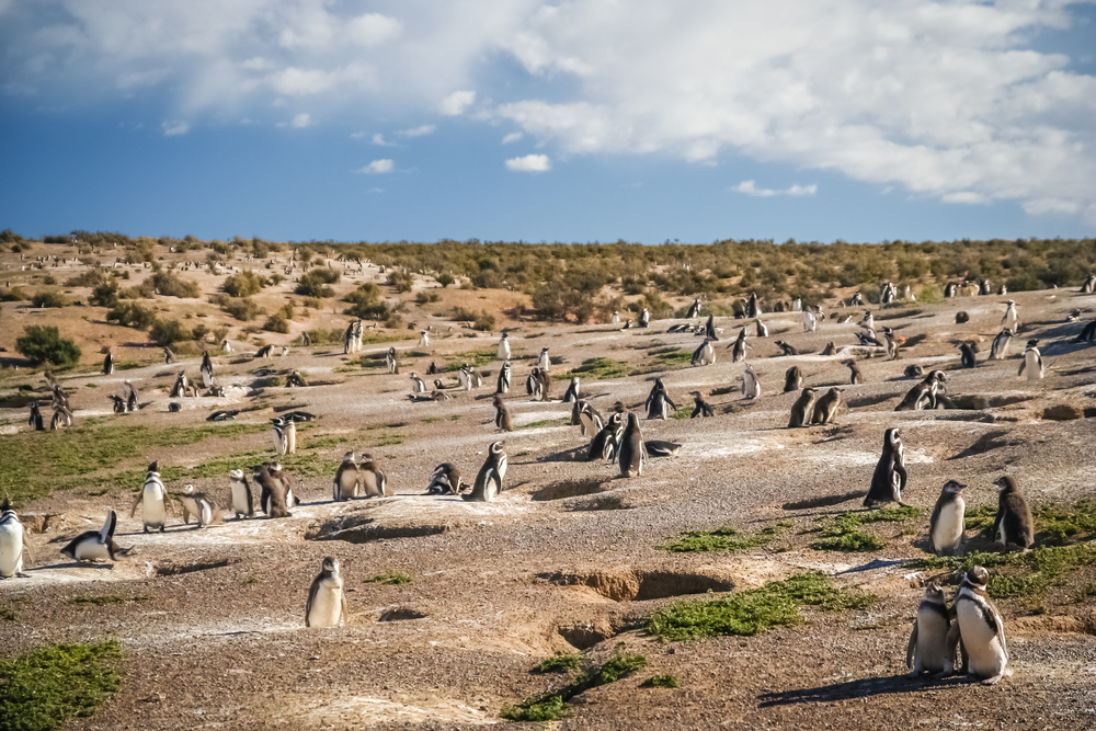 Penguins and their nests in the ground, Punta Tombo, Argentina, South America