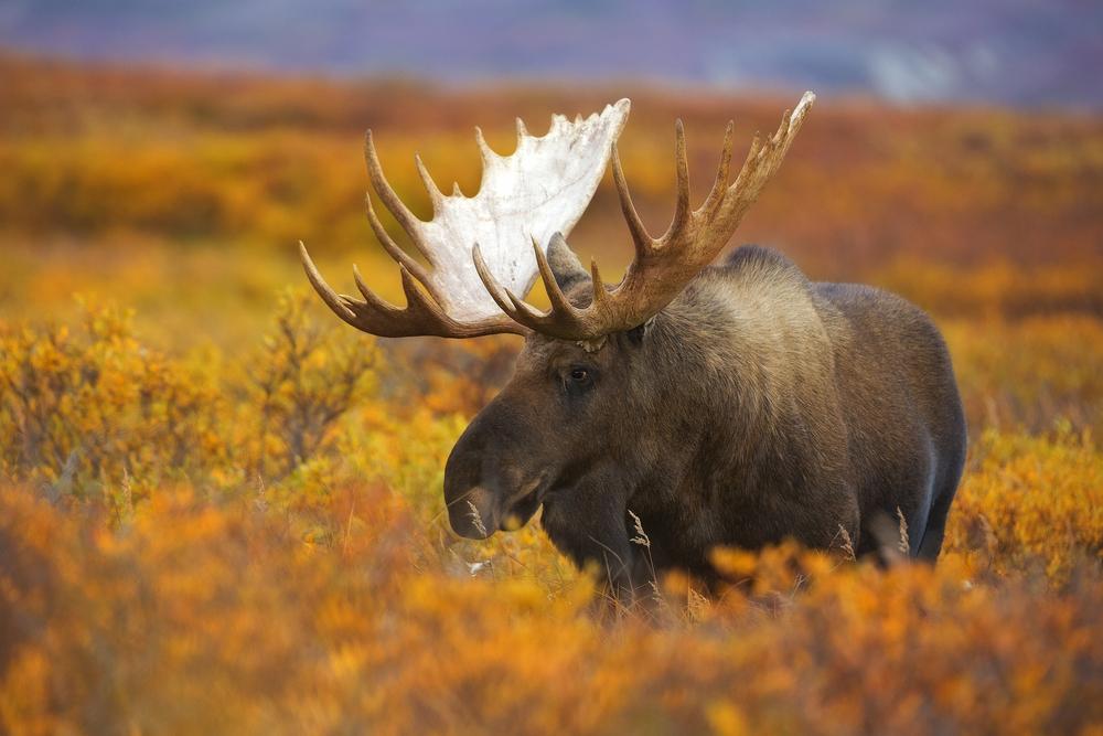 A bull moose wanders across the fall colored tundra