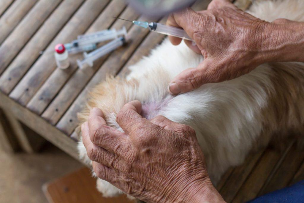 Preparing to give distemper vaccine