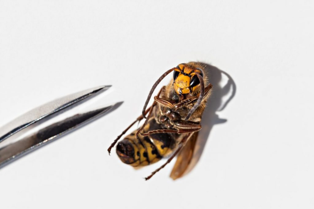 dog removing bee sting tweezers
