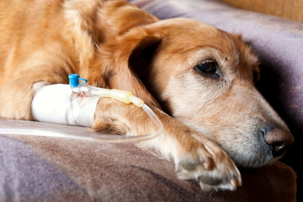 IV fluids treatment dog kidney
