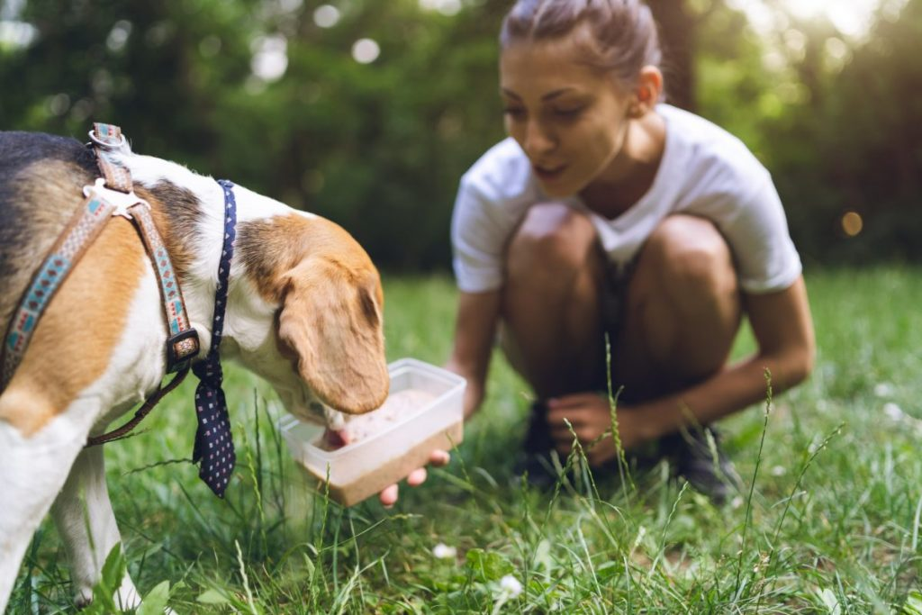 Beagle eating treat in park