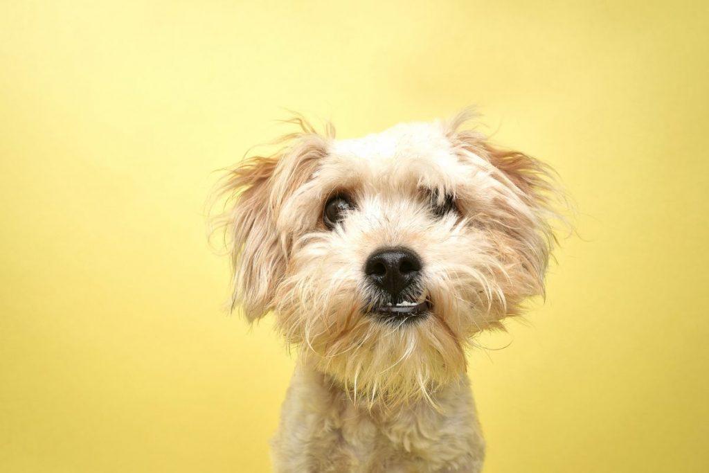 Poodle terrier mix