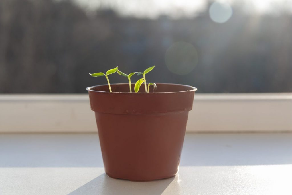 small sprouted seeds on windowsill