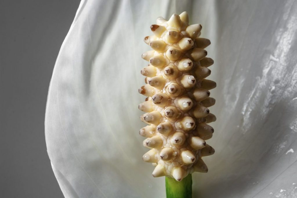 Close up of lily spadix