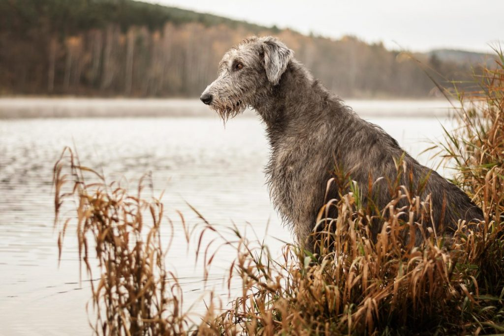 Irish Wolfhound Tallest Breed
