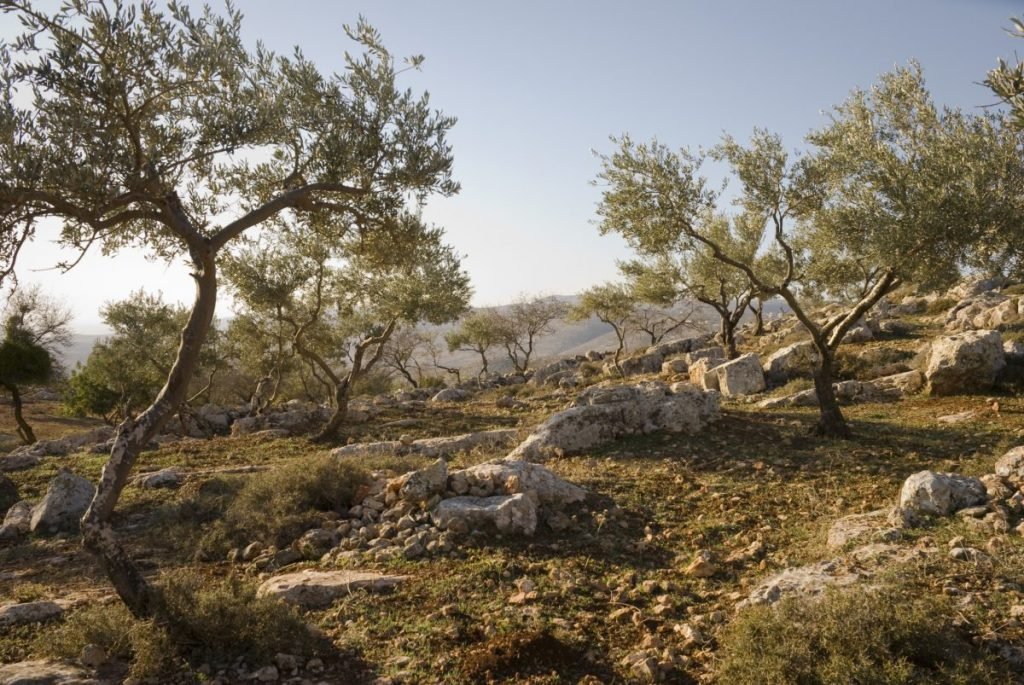 Olive trees outside Tirat Zvi, Israel