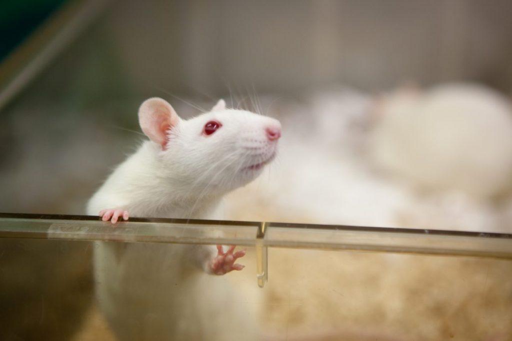 lab animal studies rats