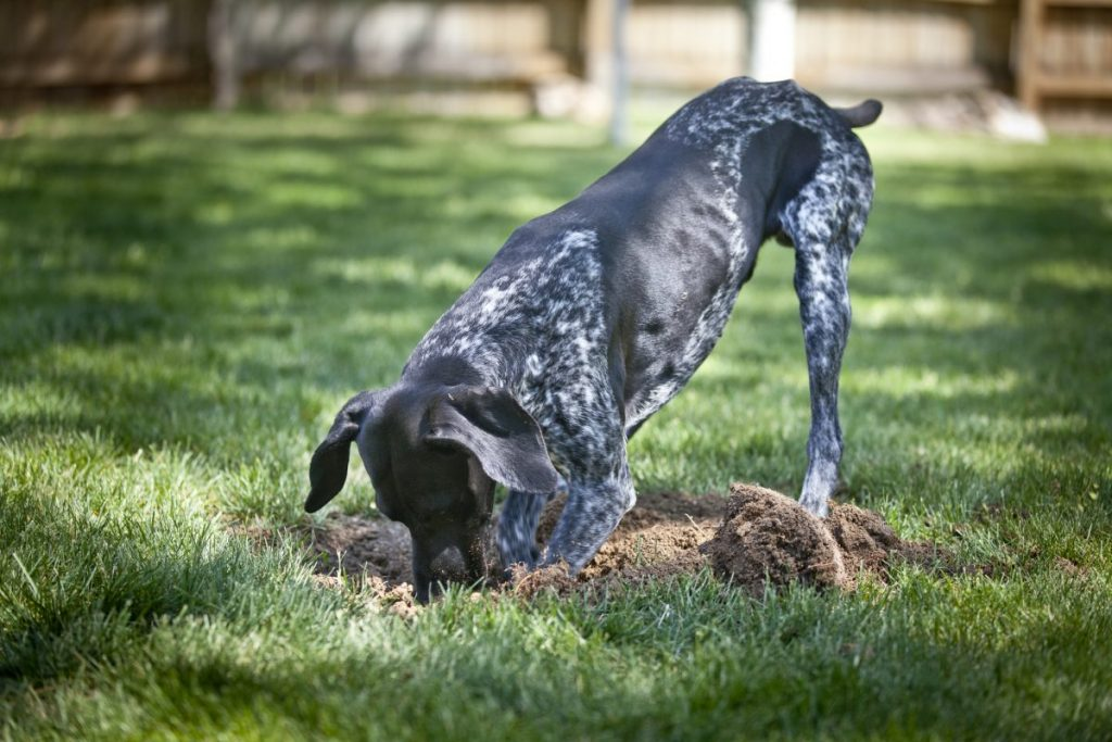 hookworms dogs contaminated soil