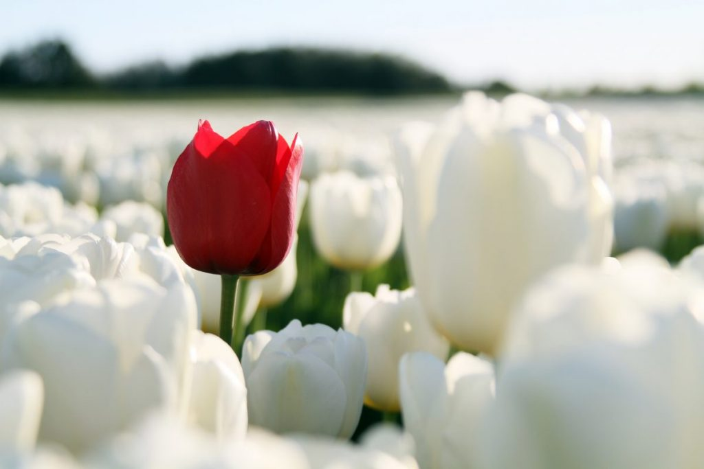 Red tulip in white ones