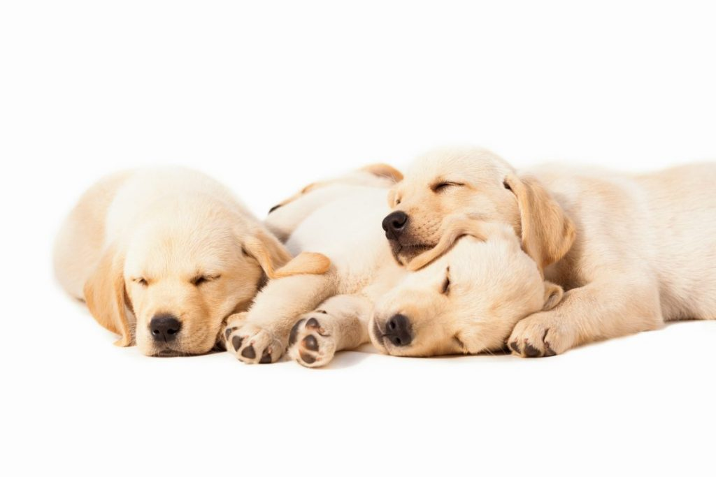puppies pregnant dogs anemic condition
