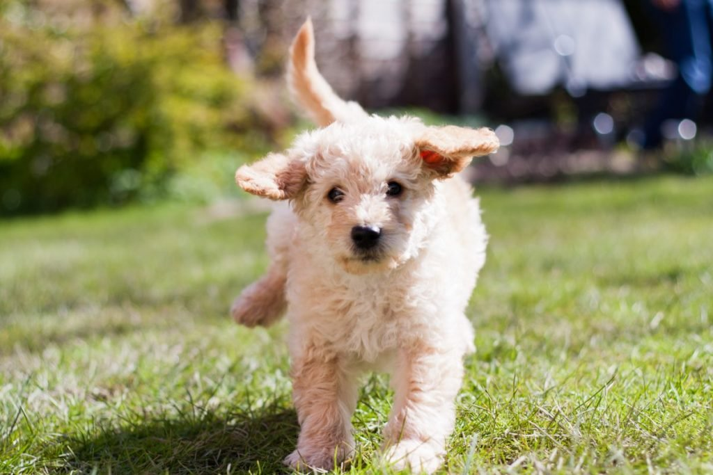 Labradoodle puppy running
