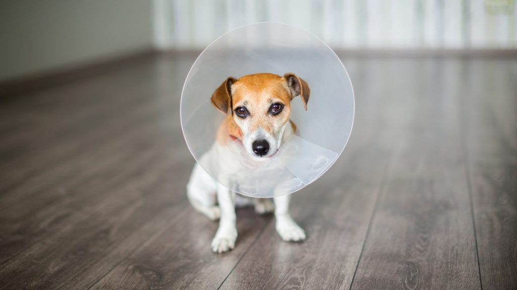 Jack Russell terrier wearing e-collar