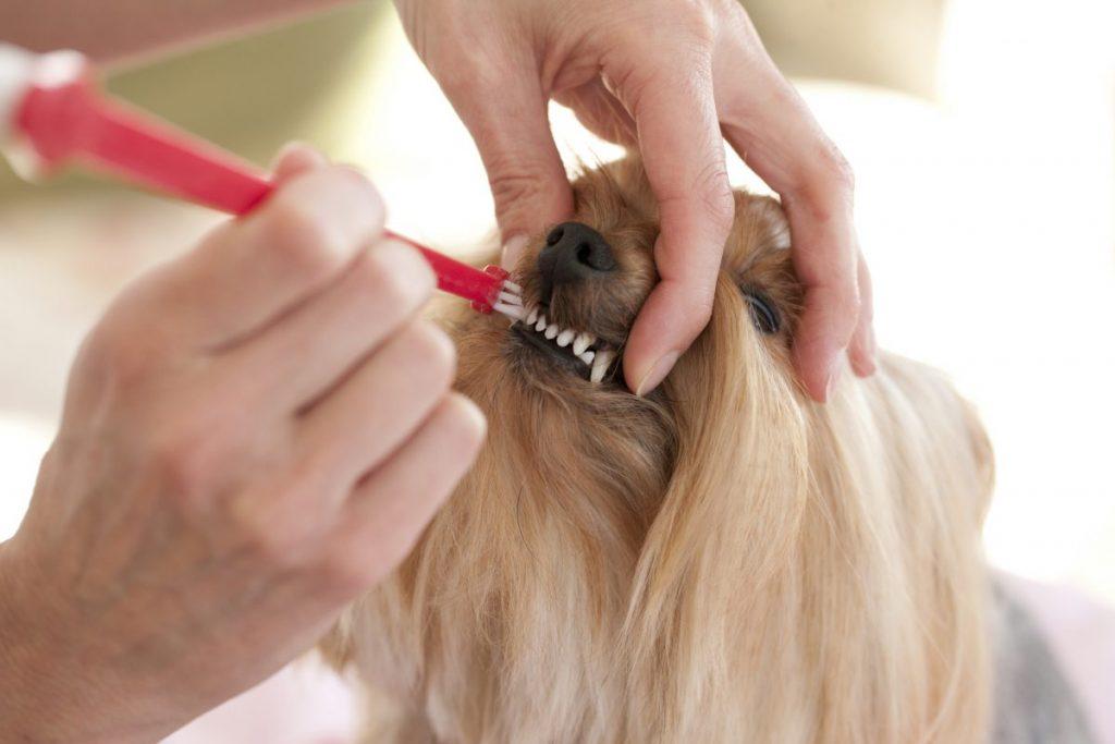 brushing dog's front teeth