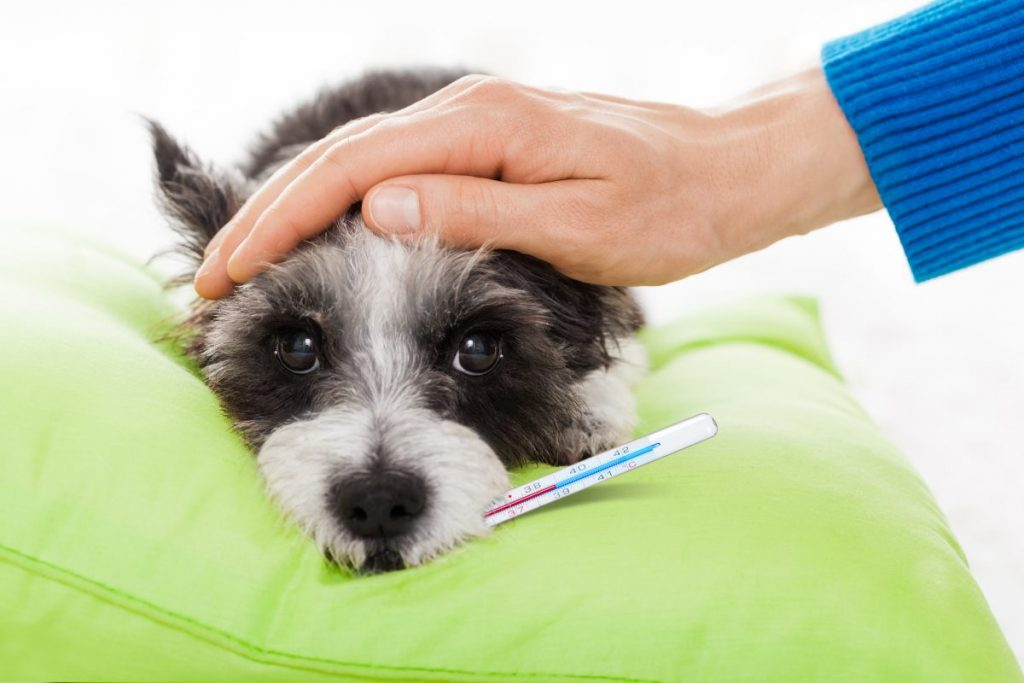 dog reducing fever treatment