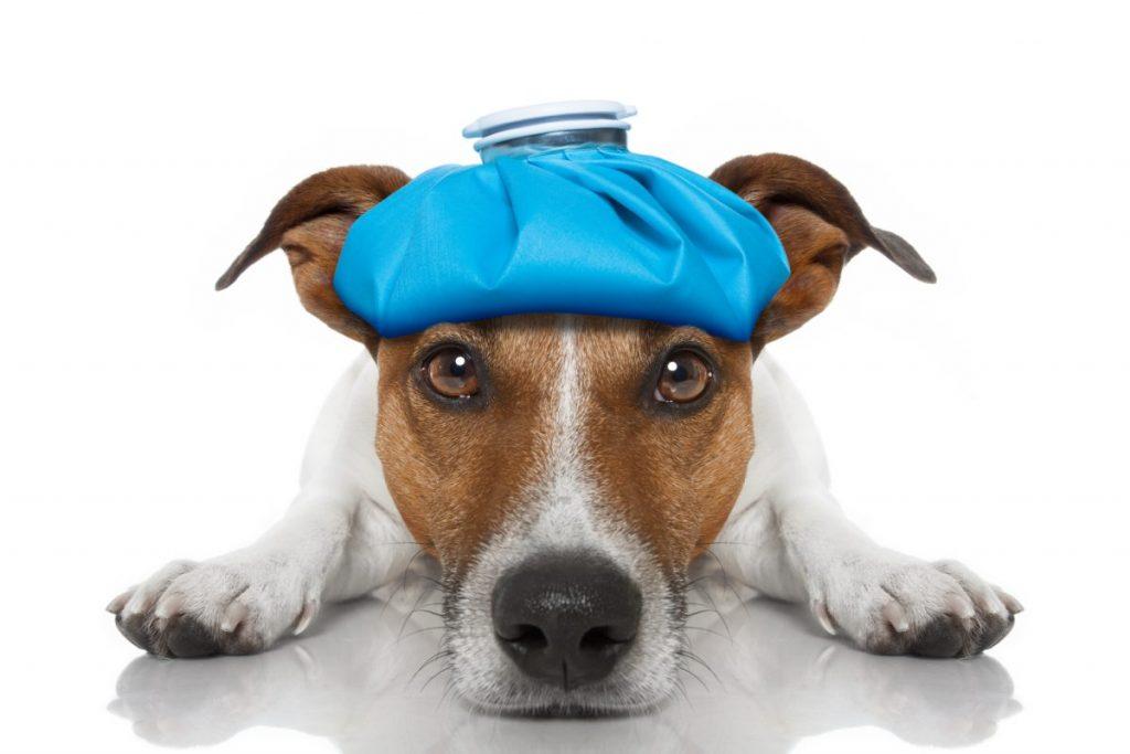 dog ice pack pain sting