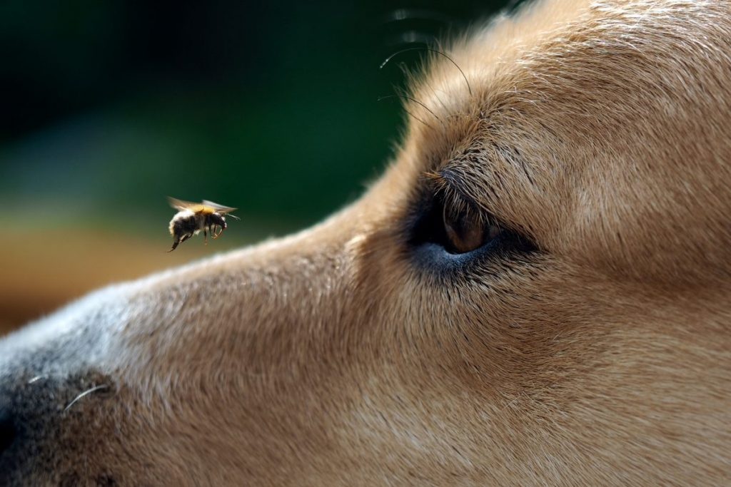 dog bee sting symptoms
