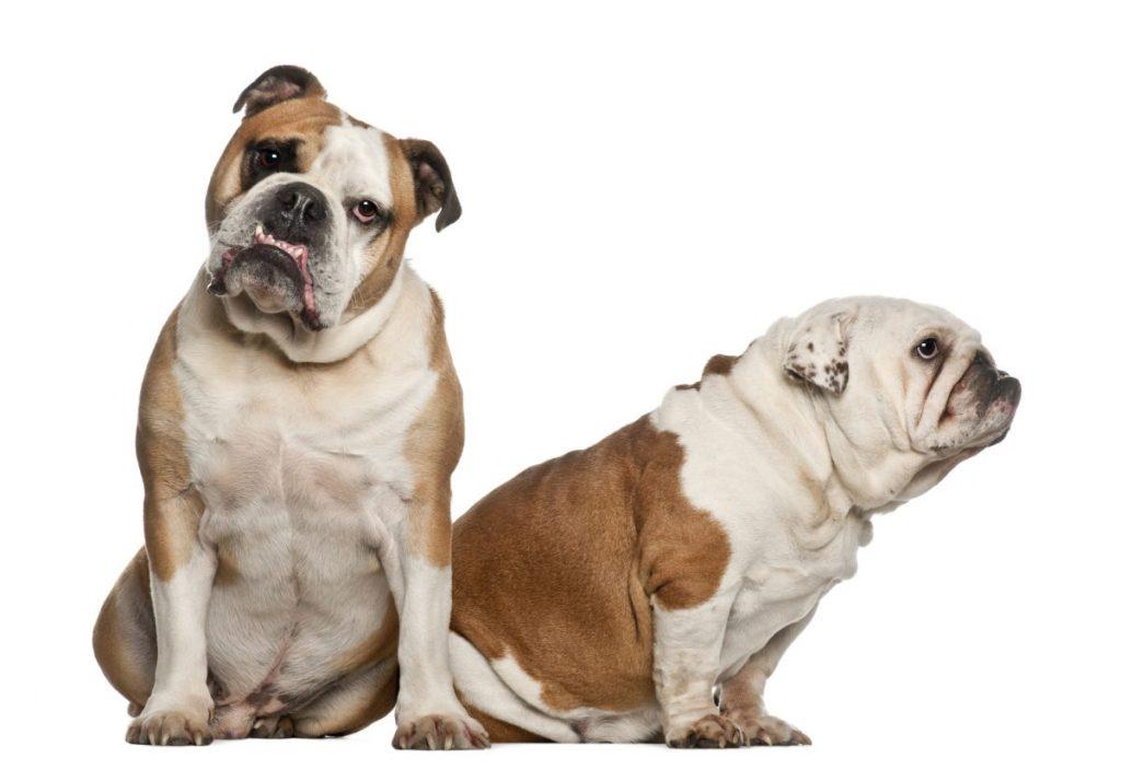 bulldog portrait