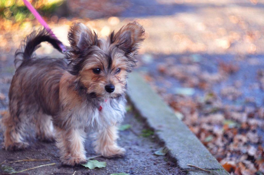 Chorkie on a pink leash