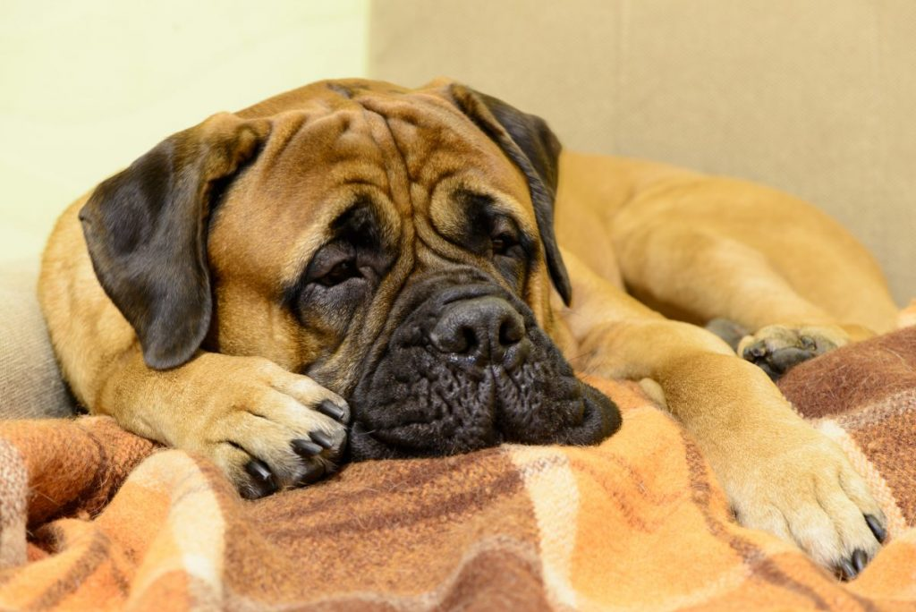 bloat weight gain bullmastiff