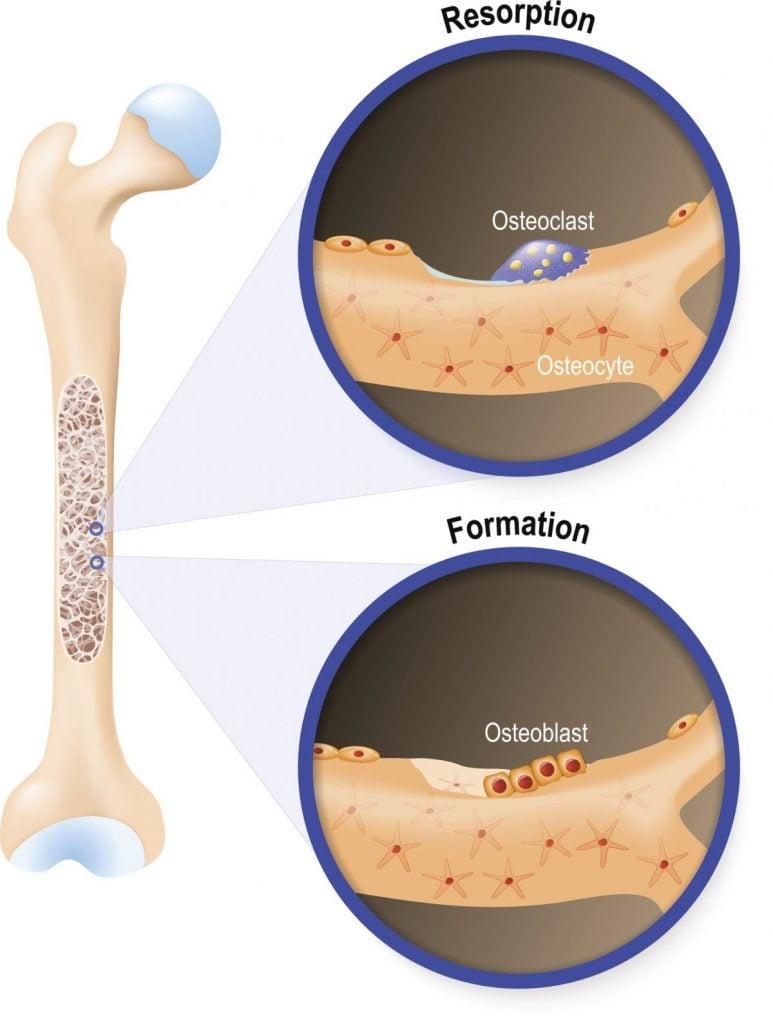 osteoblasts osteoclasts bones