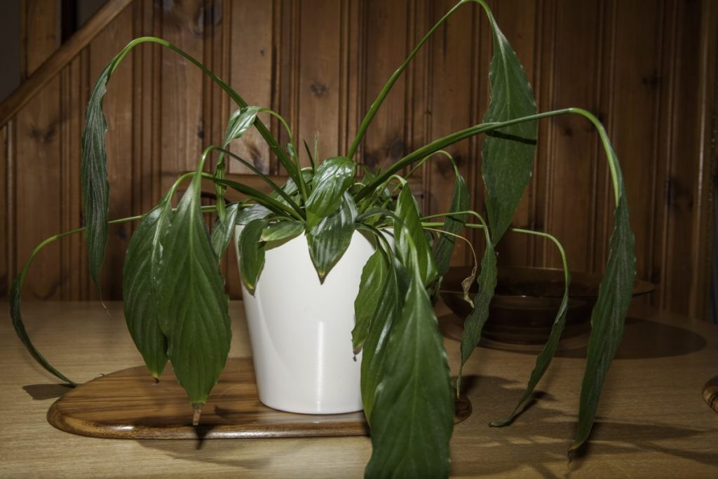 wilting peace lily