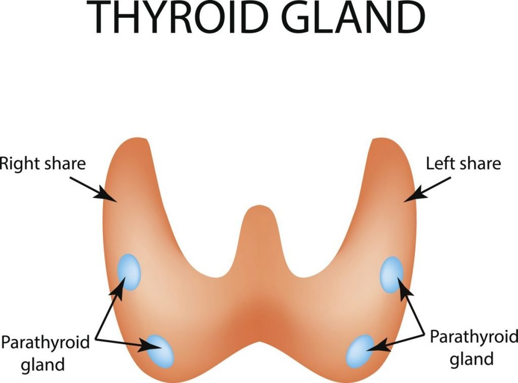 Parathyroid Glands Calcium