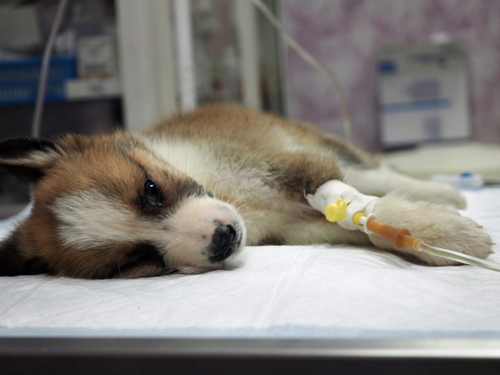 Sick puppy getting IV fluids