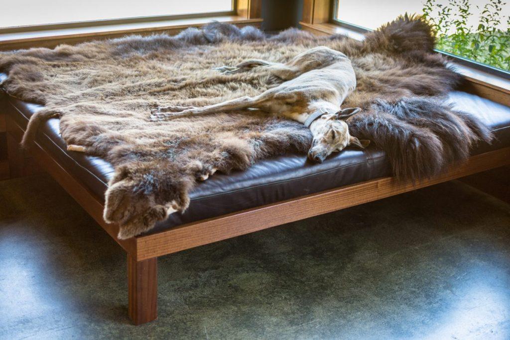 Greyhound sleeping on bed
