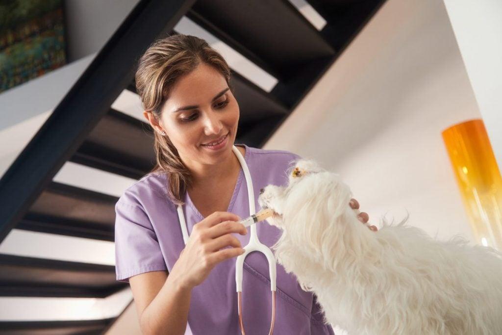 Dog receiving oral antibiotics