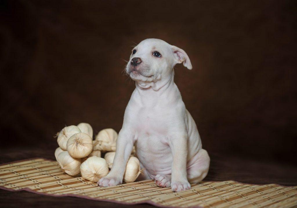 raw garlic dogs thiosulphate
