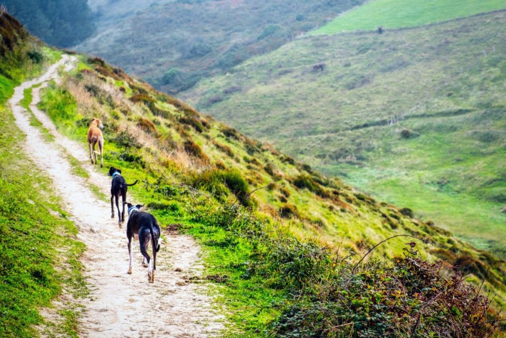 Three greyhounds running mountain trail