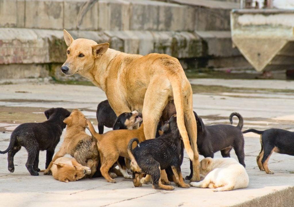 puppies, pregnancy, dormant, reactive, milk