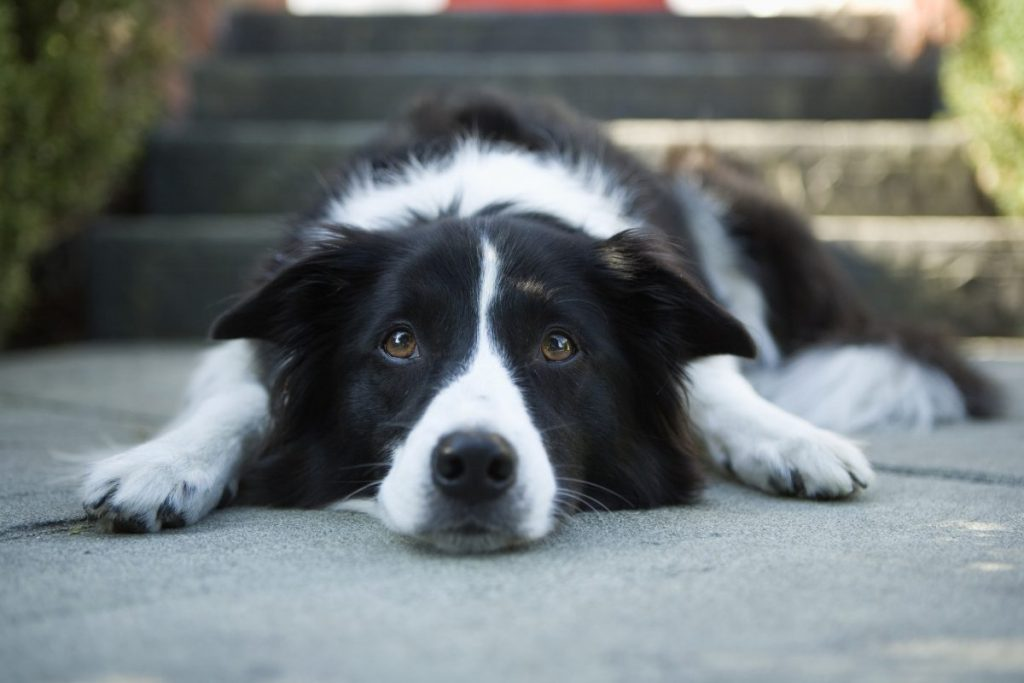 Border collie lying down