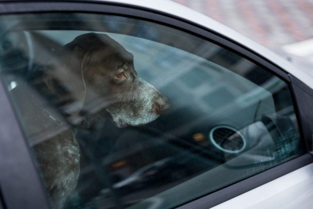 Hot Car Dogs Heat Stroke