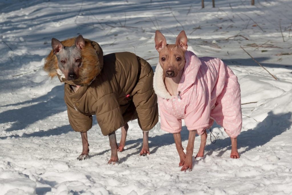 Hairless Terriers wearing winter coats